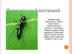 Древоточец блестящий Муравей рода капмпотонус. Имеет черное тело с незначит