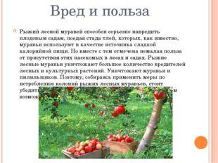 Вред и польза Рыжий лесной муравей способен серьезно навредить плодовым садам