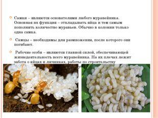 Самки – являются основателями любого муравейника. Основная их функция – откл