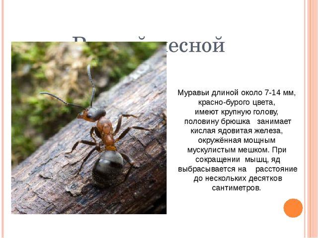 Рыжий лесной Муравьидлинойоколо7-14мм, красно-бурогоцвета, имеюткрупн...