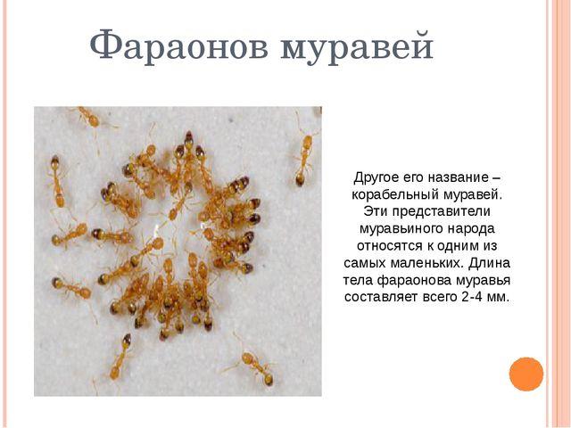 Фараонов муравей Другое его название –корабельный муравей. Эти представители...