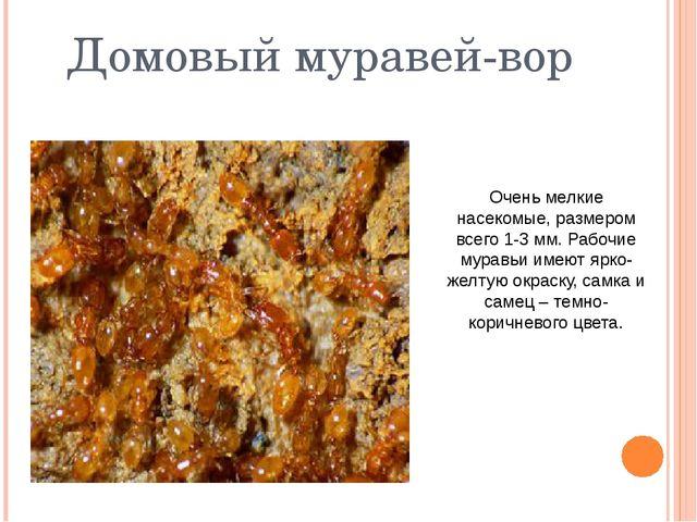 Домовый муравей-вор Очень мелкие насекомые, размером всего 1-3 мм. Рабочие му...