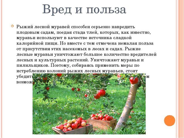 Вред и польза Рыжий лесной муравей способен серьезно навредить плодовым садам...