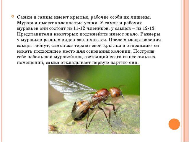 Самки и самцы имеют крылья, рабочие особи их лишены. Муравьи имеют коленчаты...