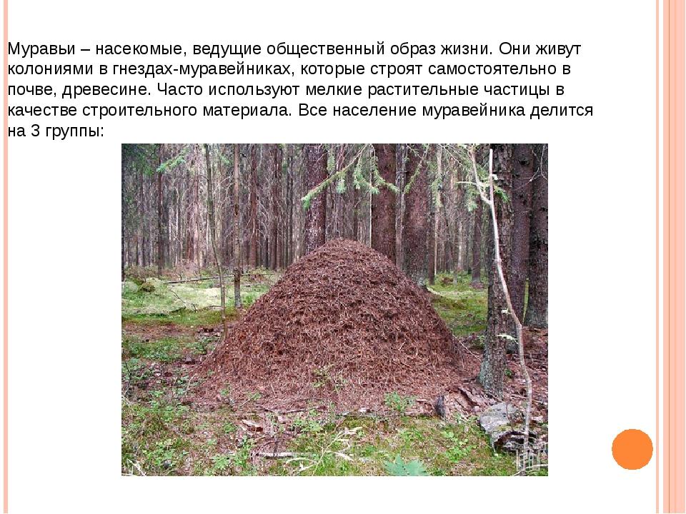 Муравьи – насекомые, ведущие общественный образ жизни. Они живут колониями в...