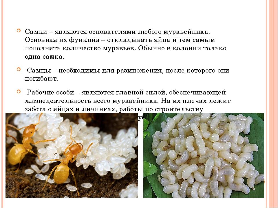 Самки – являются основателями любого муравейника. Основная их функция – откл...