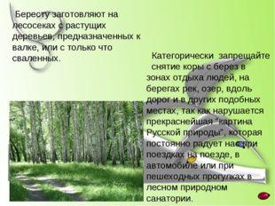 Бересту заготовляют на лесосеках с растущих деревьев, предназначенных к валк