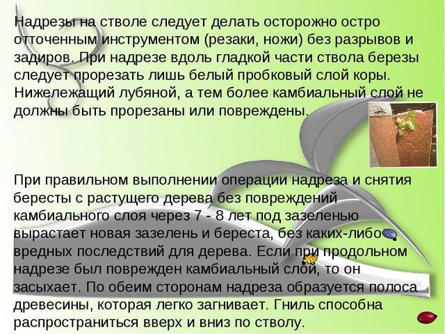 Надрезы на стволе следует делать осторожно остро отточенным инструментом (рез...