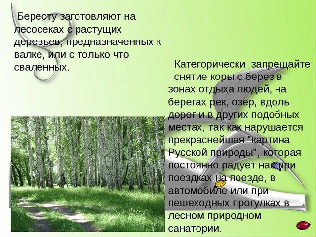 Бересту заготовляют на лесосеках с растущих деревьев, предназначенных к валк...