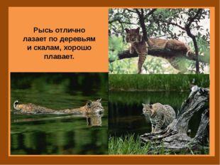 Рысь отлично лазает по деревьям и скалам, хорошо плавает.