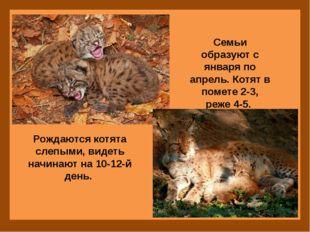 Семьи образуют с января по апрель. Котят в помете 2-3, реже 4-5. Рождаются к