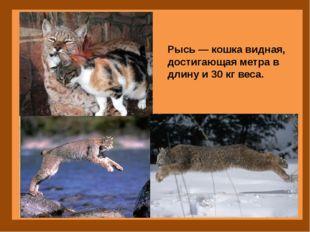 Рысь — кошка видная, достигающая метра в длину и 30 кг веса.