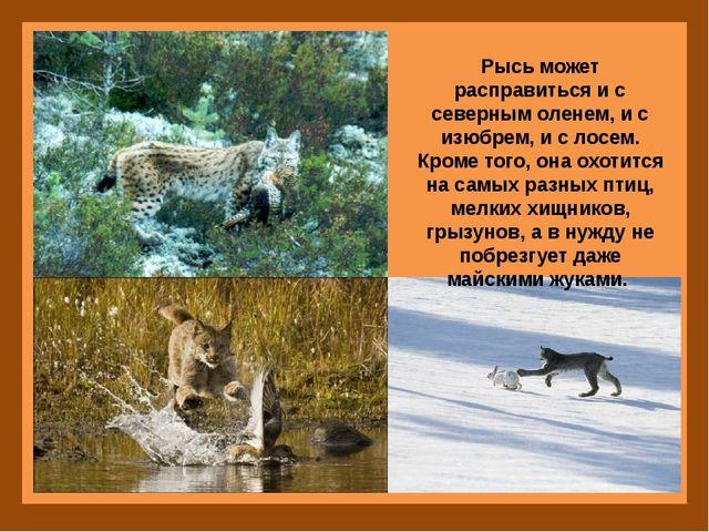 Рысь может расправиться и с северным оленем, и с изюбрем, и с лосем. Кроме т...