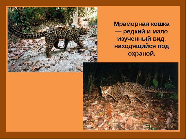 Мраморная кошка — редкий и мало изученный вид, находящийся под охраной.