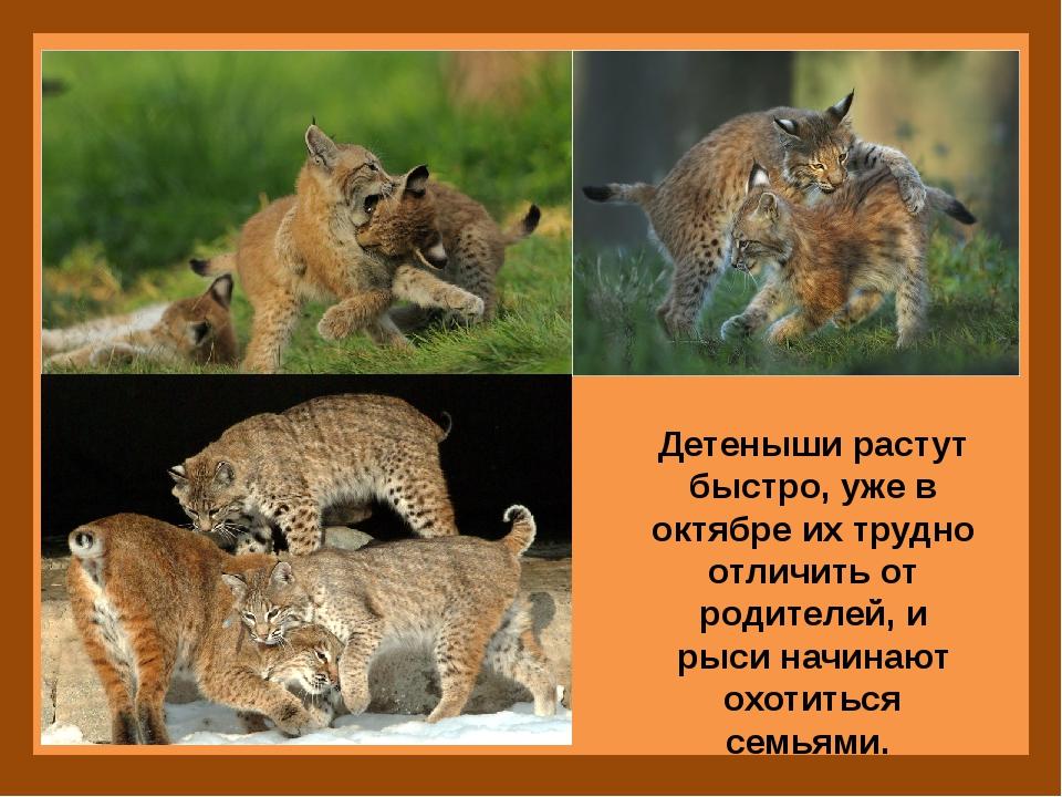 Детеныши растут быстро, уже в октябре их трудно отличить от родителей, и рыс...