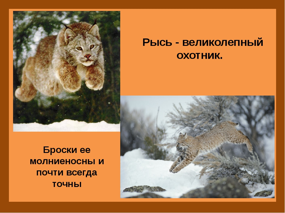 Рысь - великолепный охотник. Броски ее молниеносны и почти всегда точны