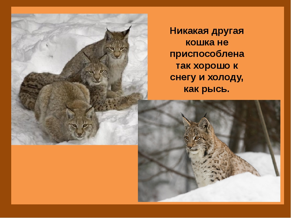 Никакая другая кошка не приспособлена так хорошо к снегу и холоду, как рысь.