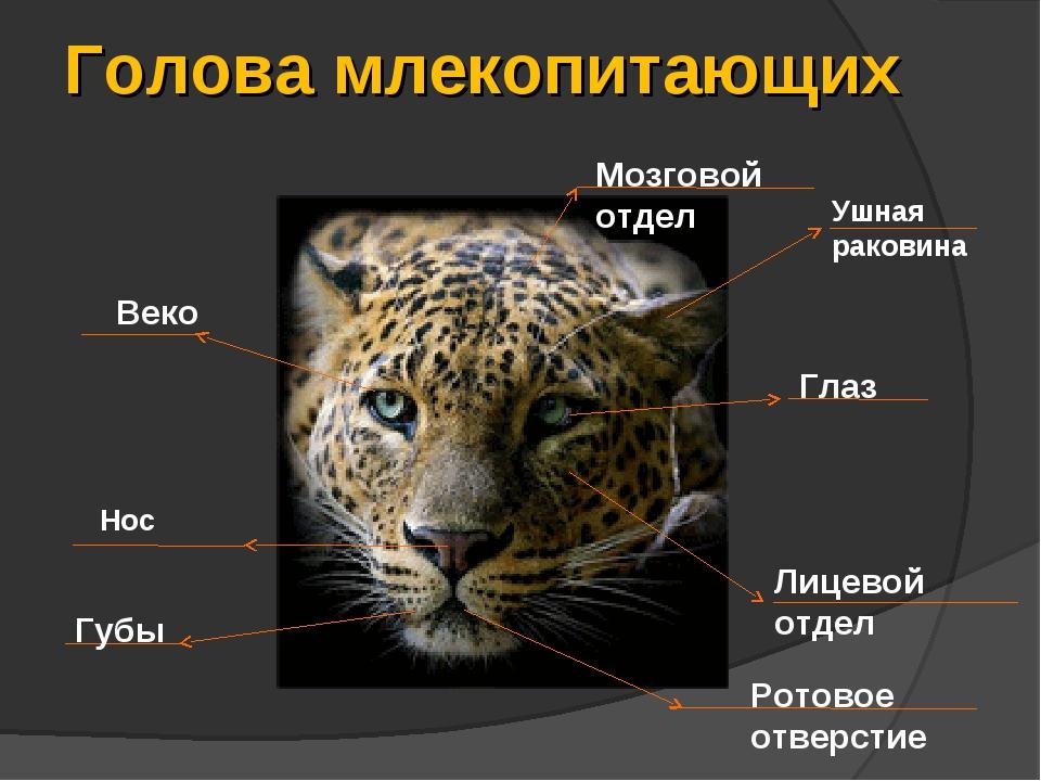 Голова млекопитающих Ушная раковина Глаз Веко Мозговой отдел Лицевой отдел Гу...