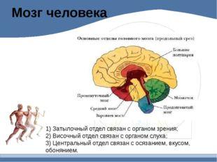 Мозг человека 1) Затылочный отдел связан с органом зрения; 2) Височный отдел