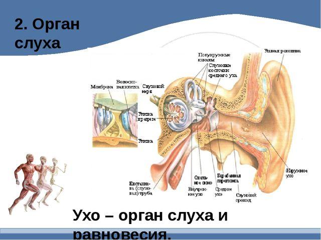 2. Орган слуха Ухо – орган слуха и равновесия.