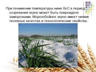 При понижении температуры ниже 0оС в период созревания зерно может быть повре