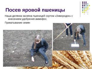 Посев яровой пшеницы Наша делянка засеяна пшеницей сортом «Зимородок» с внесе