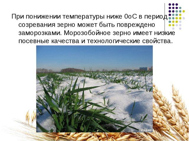 При понижении температуры ниже 0оС в период созревания зерно может быть повре...