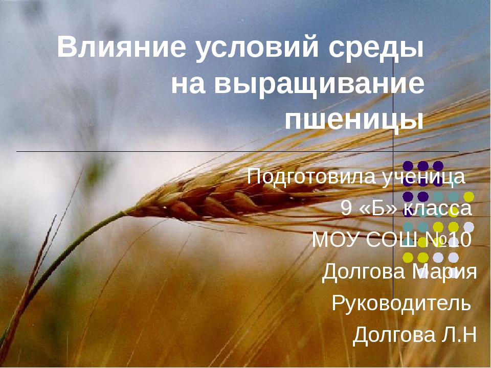 Влияние условий среды на выращивание пшеницы Подготовила ученица 9 «Б» класса...