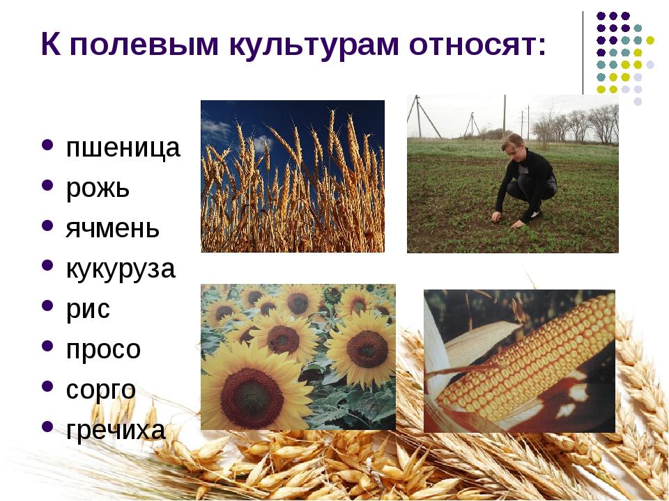 К полевым культурам относят: пшеница рожь ячмень кукуруза рис просо сорго гре...