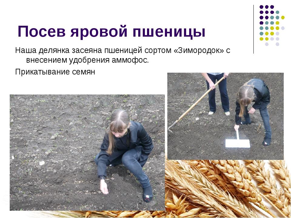 Посев яровой пшеницы Наша делянка засеяна пшеницей сортом «Зимородок» с внесе...