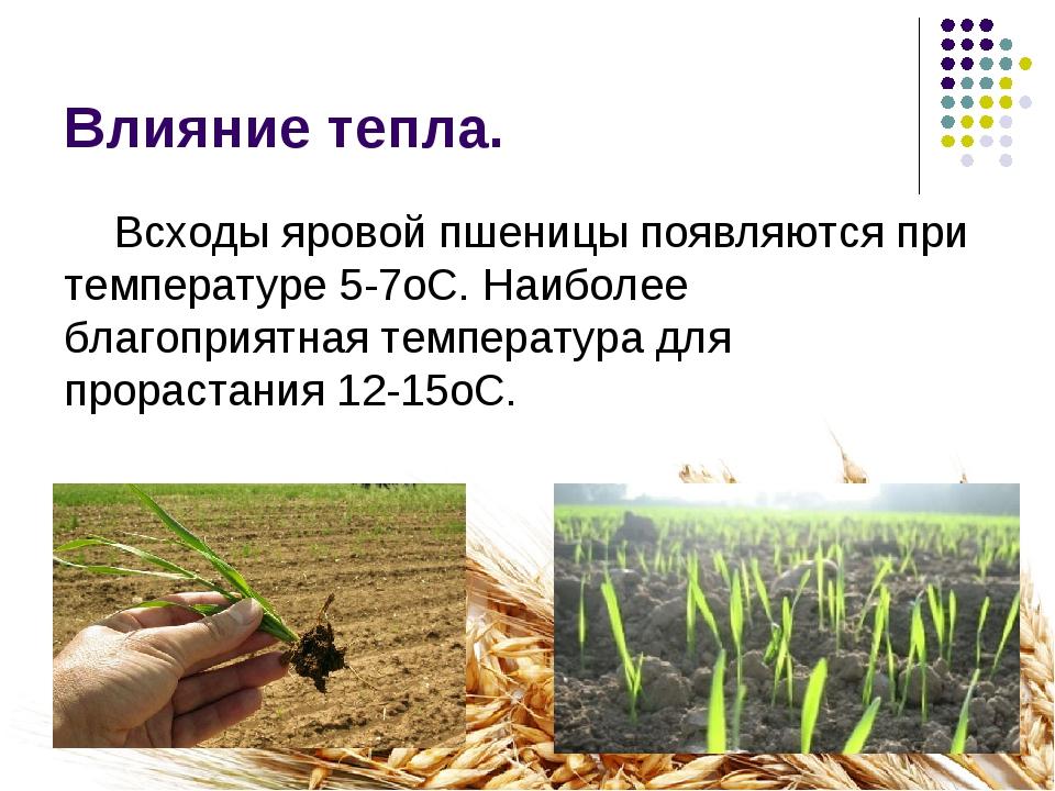 Влияние тепла. Всходы яровой пшеницы появляются при температуре 5-7оС. Наибол...