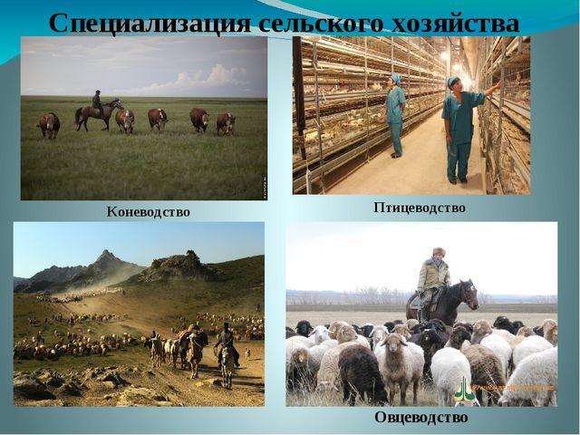 Специализация сельского хозяйства Птицеводство Овцеводство Коневодство