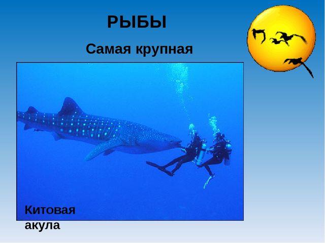 Самая крупная РЫБЫ Китовая акула