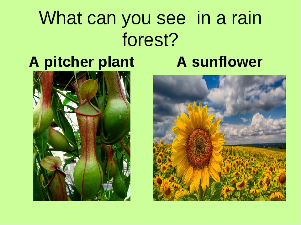 What can you see in a rain forest? A pitcher plant A sunflower