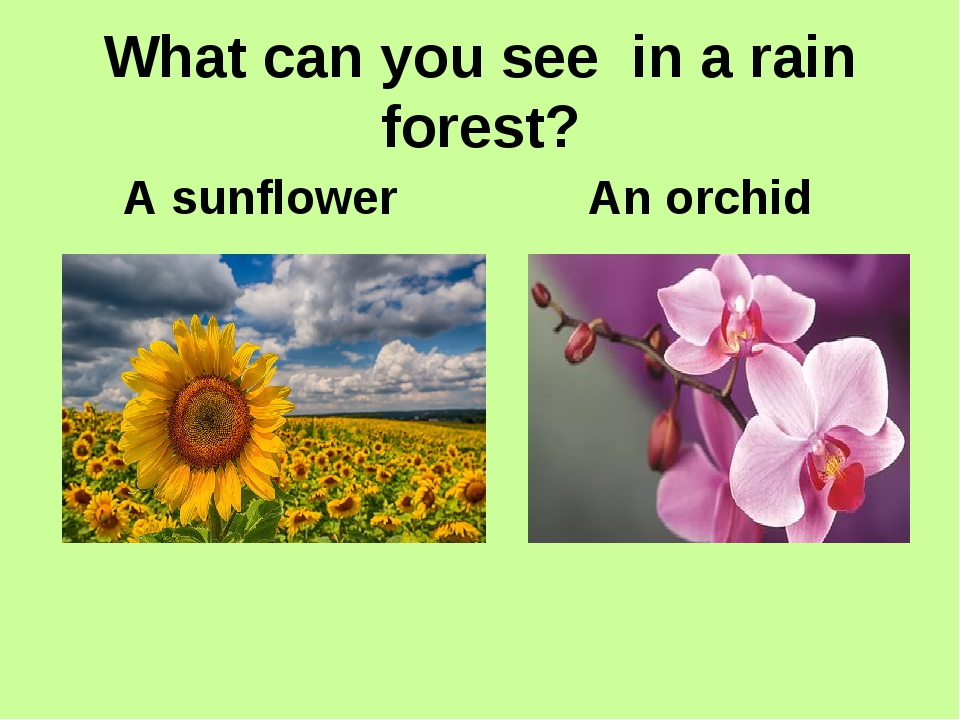 What can you see in a rain forest? An orchid A sunflower
