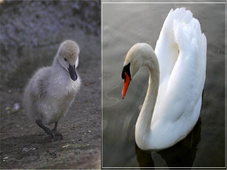 Утёнок Лебедь