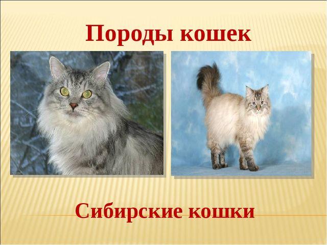 Сибирские кошки Породы кошек