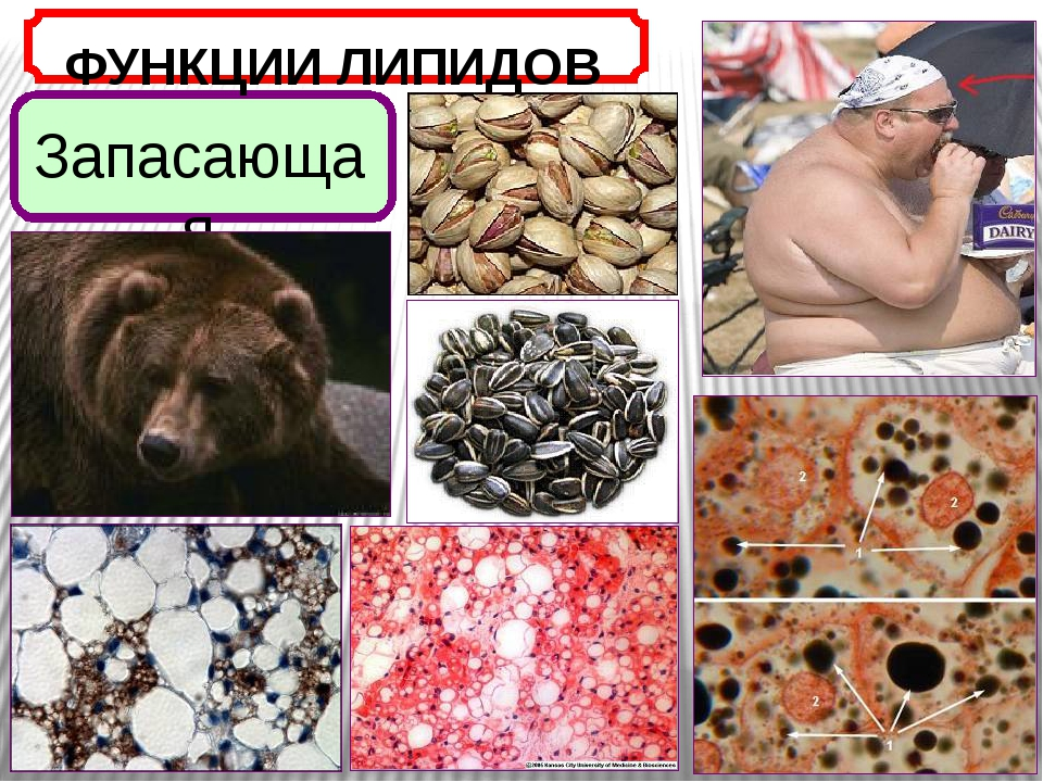 ФУНКЦИИ ЛИПИДОВ Запасающая