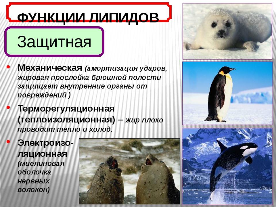Защитная ФУНКЦИИ ЛИПИДОВ Механическая (амортизация ударов, жировая прослойка...