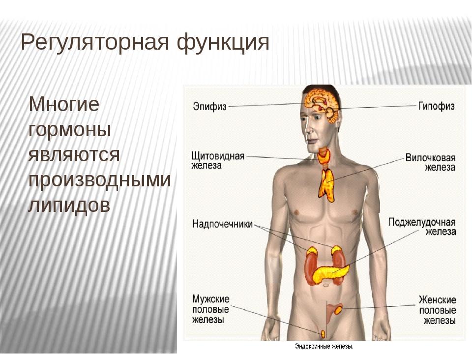 Регуляторная функция Многие гормоны являются производными липидов