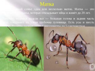 Матка В муравьиной семье одна или несколько маток. Матка — это большая муравь