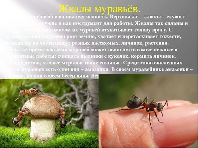 Жвалы муравьёв. Для еды приспособлена нижняя челюсть. Верхняя же – жвалы – сл...