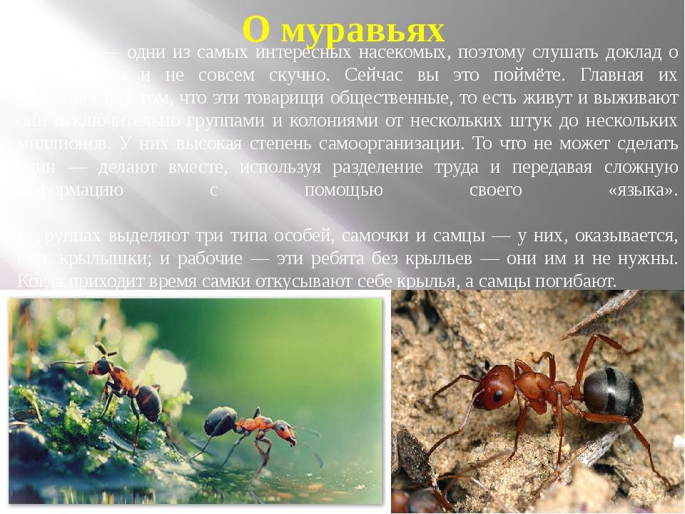 О муравьях Муравьи— одни из самых интересных насекомых, поэтому слушать докл...