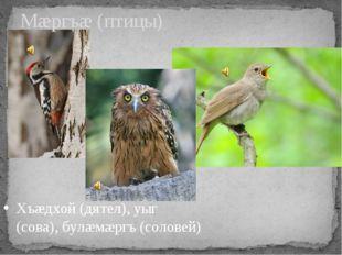 Мæргъæ (птицы) Хъæдхой (дятел), уыг (сова), булæмæргъ (соловей)