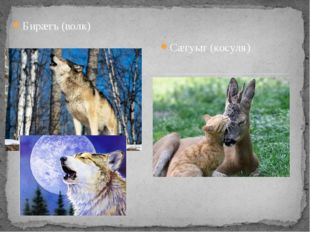 Бирæгъ (волк) Сæгуыт (косуля)