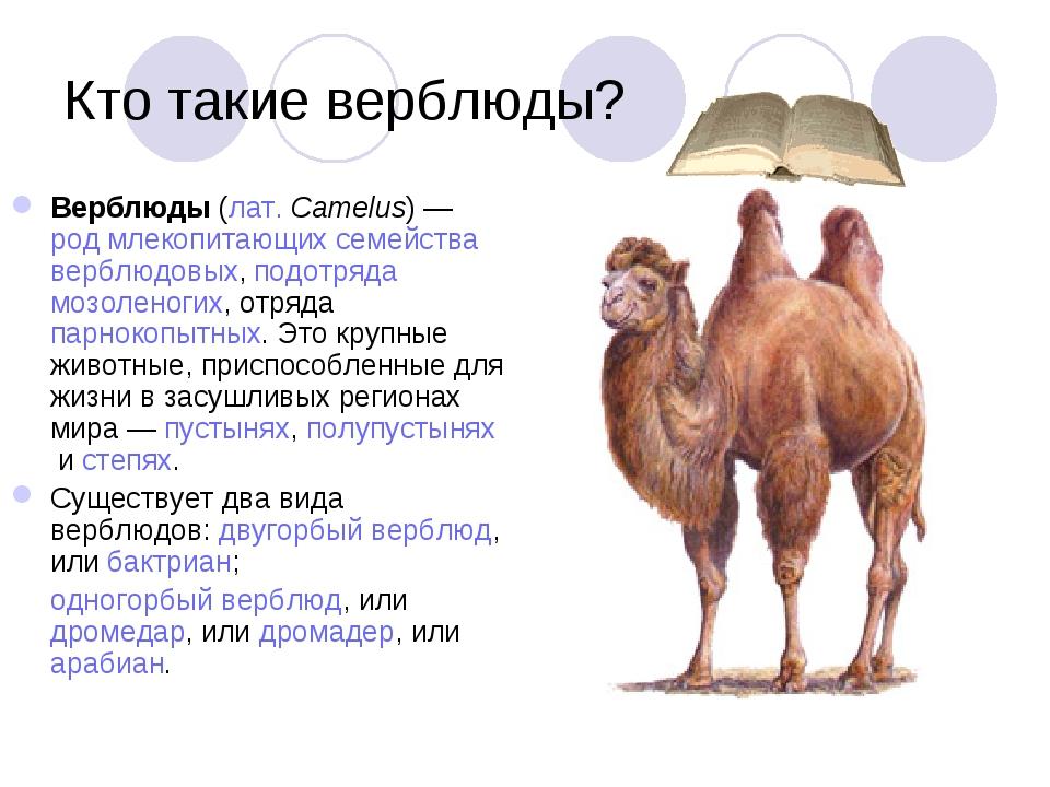 Кто такие верблюды? Верблюды(лат.Camelus)—родмлекопитающихсемействавер...