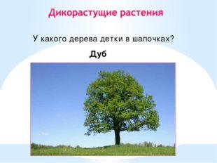 У какого дерева детки в шапочках? Дуб