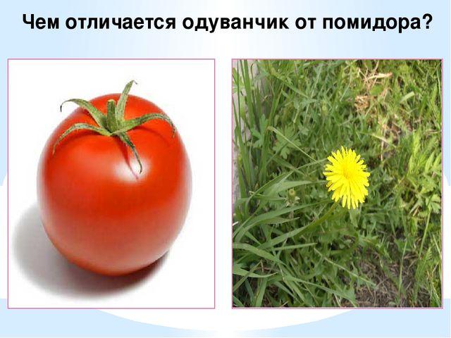 Чем отличается одуванчик от помидора?
