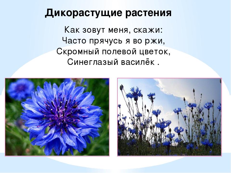 Дикорастущие растения Как зовут меня, скажи: Часто прячусь я во ржи, Скромный...
