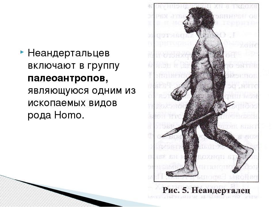 Неандертальцев включают в группу палеоантропов, являющуюся одним из ископаемы...